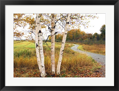 Framed Birches Print