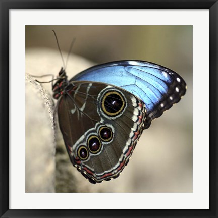 Framed Blue Butterfly Color Print