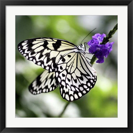 Framed BW Butterly Purple Flower Color Print