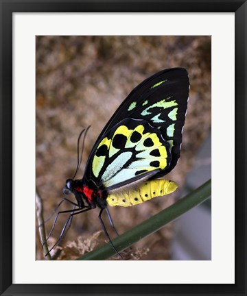 Framed Bright Colors Butterfly Print