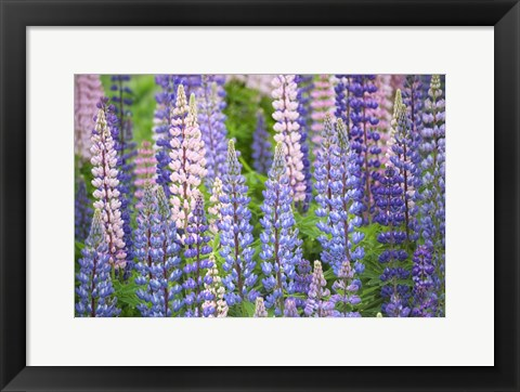 Framed Blue Pink Lupine Field Print