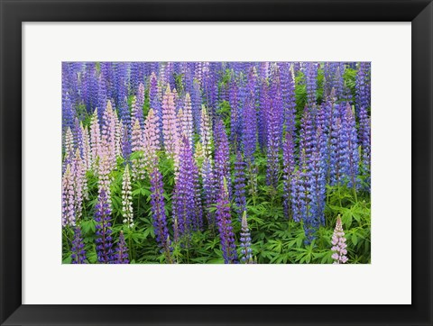 Framed Blue Pink Lupine Flower Field Print