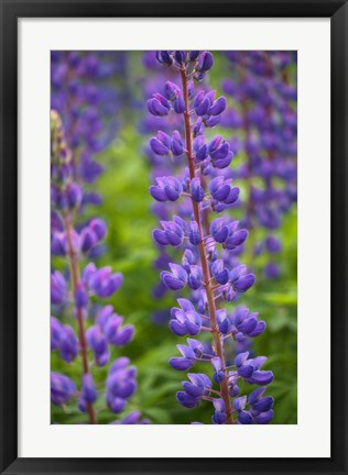 Framed Blue Violet Lupine Flower Print