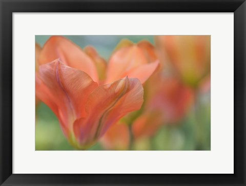 Framed Orange Wings Tuilps Print