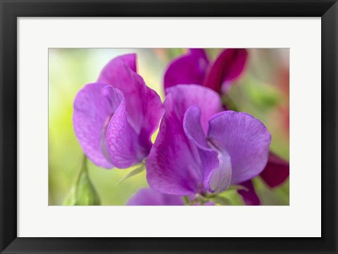 Framed Two Sweet Pea Flowers Print