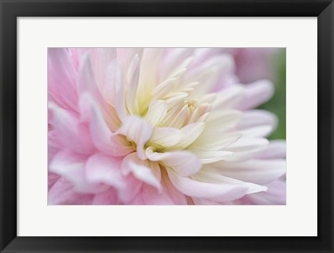 Framed White and Pink Dahlia Print