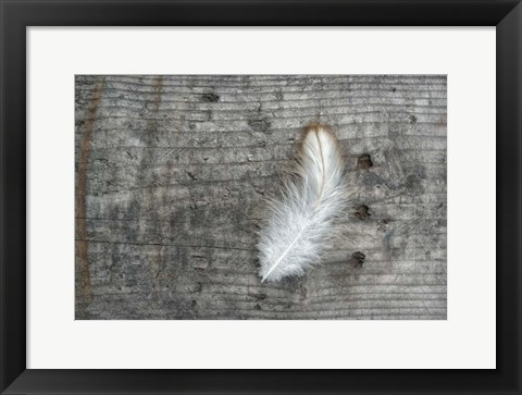 Framed Feather on Rough Wood Print