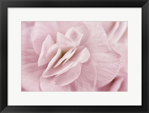 Framed Begonia Flower Print
