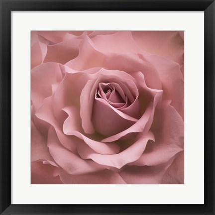 Framed Misty Rose Pink Rose Print