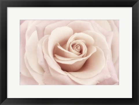 Framed Peach Pink Rose Print
