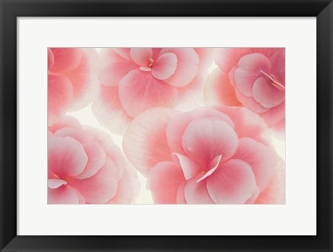 Framed Rose Begonia Flowers Print