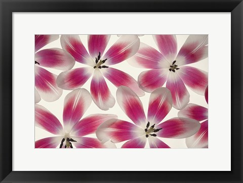 Framed Ruby Red and White Tulips Print