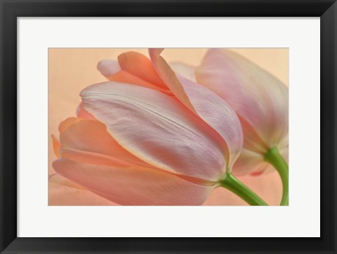 Framed Two Orange Tulips Print