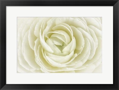 Framed White Persian Buttercup Print