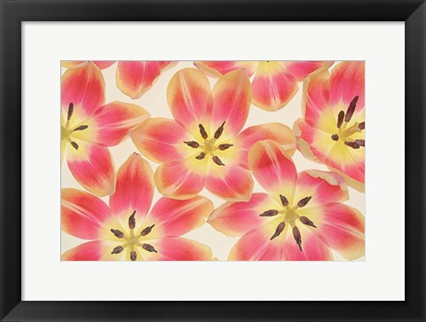 Framed Yellow and Coral Red Tulips Print