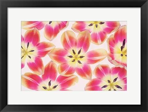 Framed Yellow and Red Tulips Print