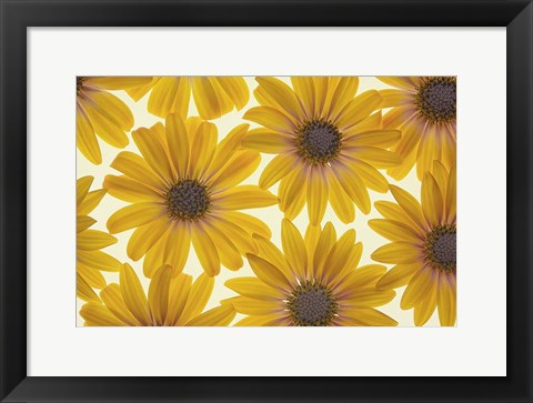 Framed Yellow Cape Dasies Print