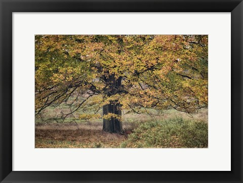 Framed Beech Tree Print