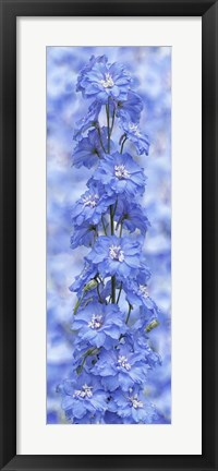 Framed Blue Larkspur Print