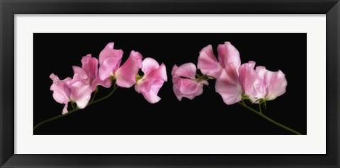 Framed Glowing Sweet Peas Print