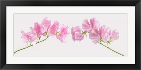 Framed Two Sweet Peas Print