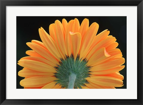Framed Orange Bloom Print