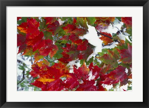 Framed Red Leaves in Snow Print