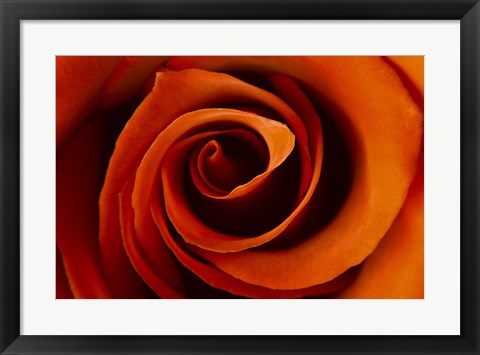 Framed Close-Up Rose Print