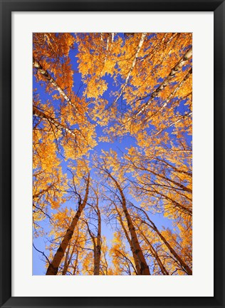 Framed Yellow Trees View from Below Print