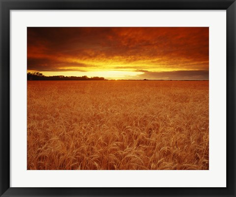 Framed Golden Wheatfields Print