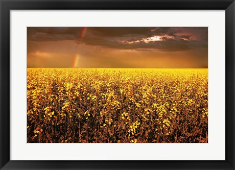 Framed Rainbow Over Golden Flowers Print