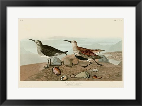 Framed Red Backed Sandpiper Print