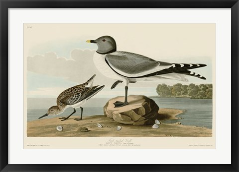 Framed Fork-Tailed Gull Print