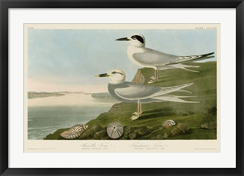 Framed Havell's Tern & Trudeau's Tern Print