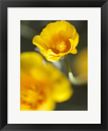 Framed California Poppy I Print