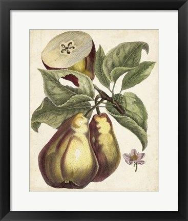 Framed Antique Pear Study I Print