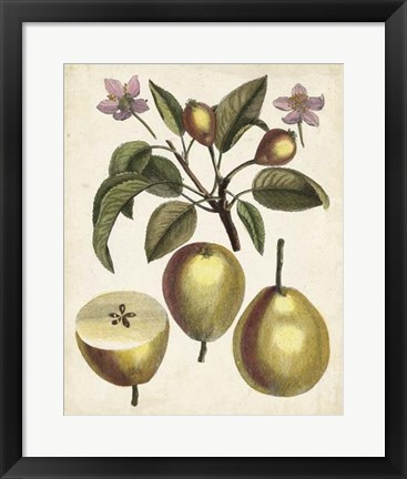 Framed Antique Pear Study III Print