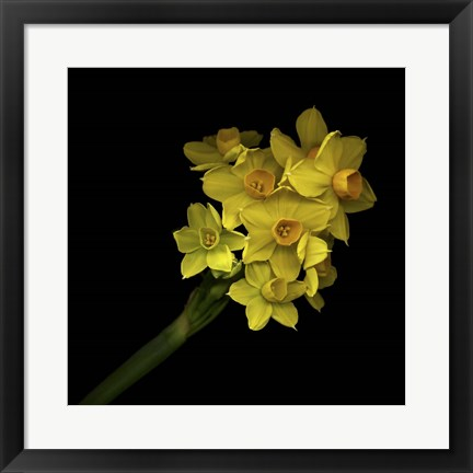 Framed Daffodils - Narcissus Print
