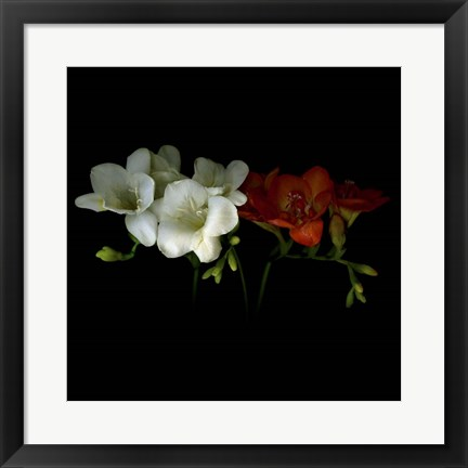 Framed Freesia 1 Print