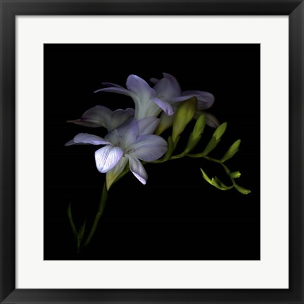 Framed Freesia 3 Print