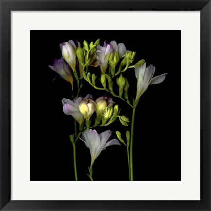 Framed Freesia 5 Print