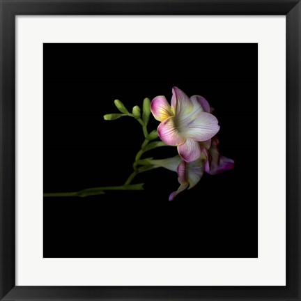Framed Freesia 6 Print