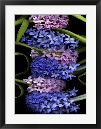 Framed Hyacinth 2 Print