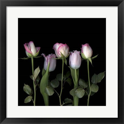Framed Pink Edged Tulips Print