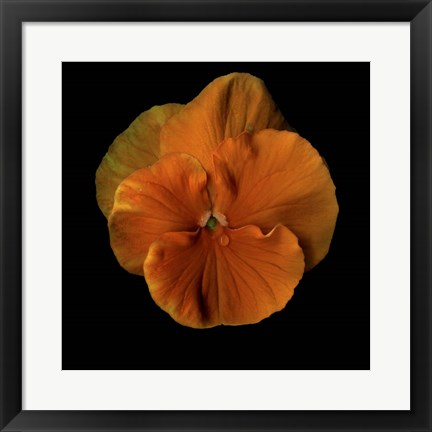 Framed Pure Eye Candy - Orange Violets 2 Print