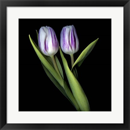 Framed Purple And White Tulips Print