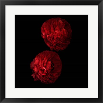 Framed Red And More Red - Ranunculus Print