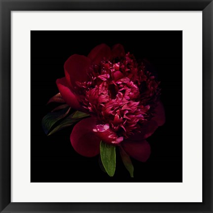 Framed Red Peony 1 Print