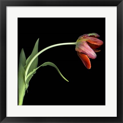 Framed Red Tulip 3 Print