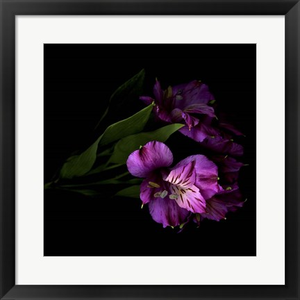 Framed Royalty - Alstroemeria Print